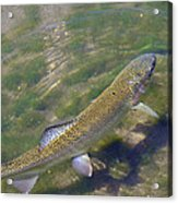 Speckled Trout Acrylic Print by Phyllis Britton