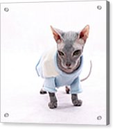 Sphynx Hairless Cat. Acrylic Print by With love of photography