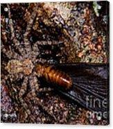Spider Eats Termite Acrylic Print by Dant� Fenolio