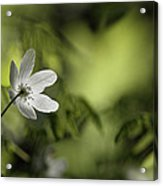 Spring Anemone Acrylic Print by Ulrich Kunst And Bettina Scheidulin