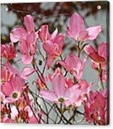 Spring Dogwood Tree Flowers Art Prints Pink Flowering Tree Acrylic Print by Baslee Troutman