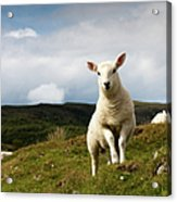 Spring Lamb On Hillside Acrylic Print by Kevin Day