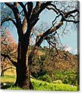 Spring Oak Acrylic Print by Kathy Yates