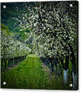 Springtime In The Orchard II Acrylic Print by Bill Gallagher