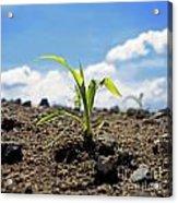 Sprout Of Maize Acrylic Print by Bernard Jaubert