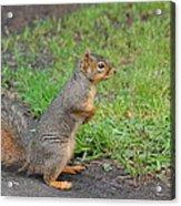 Squirrel Acrylic Print by Linda Larson