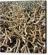 Staghorn Coral Acrylic Print by Matthew Oldfield