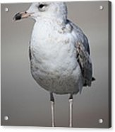 Standing Seagull Acrylic Print by Carol Groenen