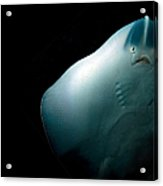 Stingray Acrylic Print by Jane Rix