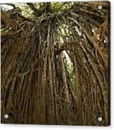 Strangler Fig Tree, Ficus Virens, Known Acrylic Print by Tim Laman