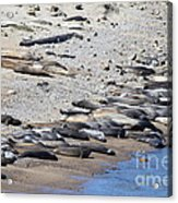 Sunbathing Elephant Seals Along A Beach At Point Reyes California . 7d16065 Acrylic Print by Wingsdomain Art and Photography