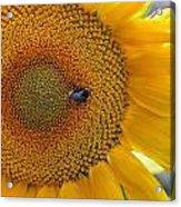 Sunflower And A Bumblebee Acrylic Print by Aleksandr Volkov