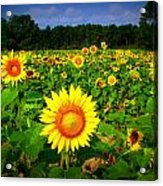 Sunflower Field Acrylic Print by Melessia  Todd