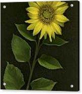 Sunflower With Rocks Acrylic Print by Deddeda