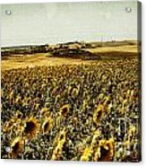 Sunflowers Field  Acrylic Print by Anja Freak