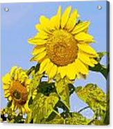 Sunflowers In Morning Acrylic Print by Artist and Photographer Laura Wrede