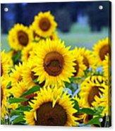 Sunflowers Acrylic Print by Paul Ward