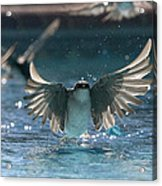 Swallows Drink From Pool Acrylic Print by Bryan Allen