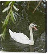 Swan Enjoying A Swim Acrylic Print by Corinne Elizabeth Cowherd