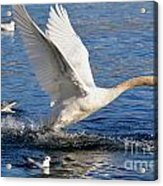 Swan Take Off Acrylic Print by Mats Silvan