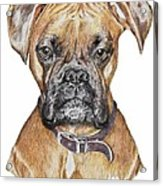 Sweet Boxer Acrylic Print by Marla Saville