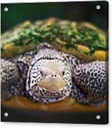 Swimming Turtle Facing Camera Acrylic Print by Greg Adams Photography