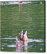 Synchronized Ducking Acrylic Print by Chris Anderson