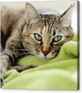 Tabby Cat On Green Blanket Acrylic Print by Dhmig Photography