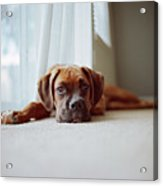 Tan Boxer Puppy Laying On Carpet Near Window Acrylic Print by Diyosa Carter