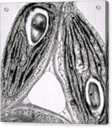 Tem Of Chloroplasts Acrylic Print by Dr Jeremy Burgess