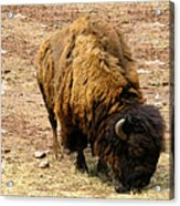 The American Buffalo Acrylic Print by Bill Cannon