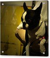 The Boston Bull Terrier  Acrylic Print by Steven  Digman