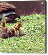 The First Family Acrylic Print by Karol Livote