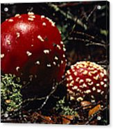 The Introduced Bright Red Fly Agaric Acrylic Print by Jason Edwards