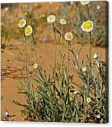 The Poached Egg Daisy Emerges From Red Acrylic Print by Jason Edwards