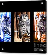 The Three Zebras Black Borders Acrylic Print by Rebecca Margraf