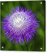 Thistle II Acrylic Print by Tamyra Ayles