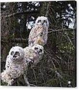 Three Great Horned Owl Bubo Virginianus Acrylic Print by Richard Wear