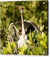 Three Tricolored Heron Egretta Tricolor Acrylic Print by Tim Laman