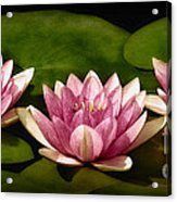 Three Water Lilies Acrylic Print by Susan Candelario
