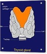 Thyroid Gland, Artwork Acrylic Print by Francis Leroy, Biocosmos