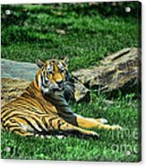 Tiger - Endangered - Lying Down - Tongue Out Acrylic Print by Paul Ward