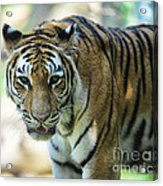 Tiger - Endangered - Wildlife Rescue Acrylic Print by Paul Ward