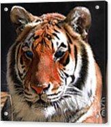 Tiger Blue Eyes Acrylic Print by Rebecca Margraf