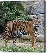 Tigers Glare Acrylic Print by Brendan Reals
