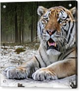 TJ  Acrylic Print by Big Cat Rescue