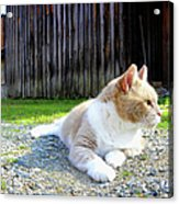 Toby Old Mill Cat Acrylic Print by Sandi OReilly