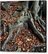 Tree Roots Of A Beech Tree Acrylic Print by Adrian Bicker