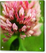 Trefle En Solo S05b-t02 Acrylic Print by Variance Collections