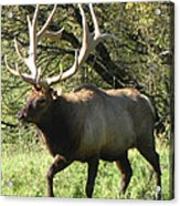 Trotting Elk  Acrylic Print by The Kepharts